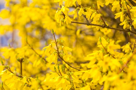Beautiful yellow forsythia flowers. Natural background of springtime flowers.
