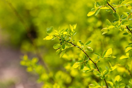 beauties: First spring leaves on bush branches. Natural springtime background