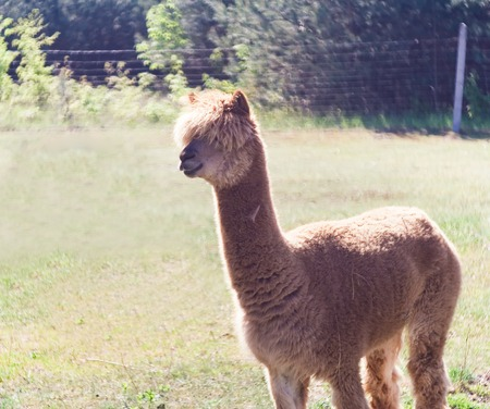 muffle: Alpaca in outdoor, animal portrait. Farm animal coming from South america