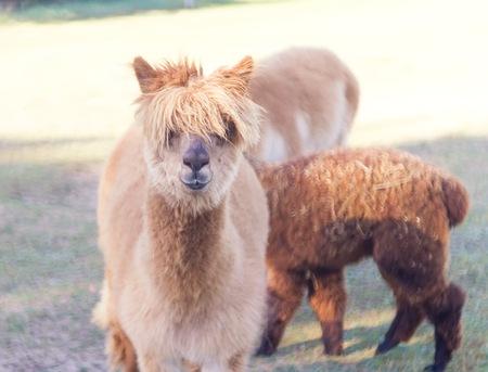 alpaca animal: Alpaca in outdoor, animal portrait. Farm animal coming from South america