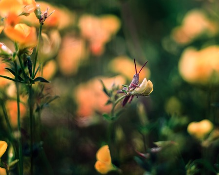 chorthippus: Grasshopper sitting on plant. Close up of insect photographed in nice light Stock Photo