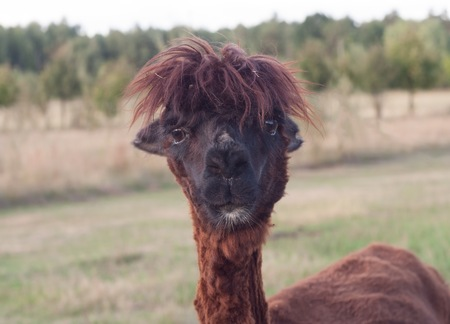 to muffle: Alpaca in outdoor, animal portrait. Farm animal coming from South america