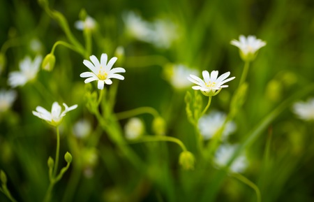 chickweed: Beautiful white wild flowers blooming (chickweed flowers). Chickweed flowers blooming at spring