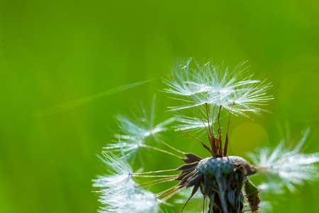 symbolically: Dandelion seeds in close up. Natural plant background. Stock Photo
