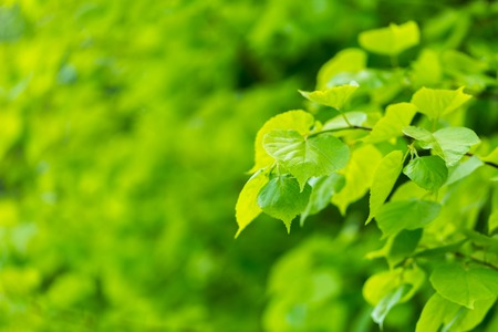 limetree: Beautiful linden leaves background. Background of limetree branches.
