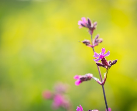 gillyflower: Wild gillyflowers growing in european forest. Natural background with violet flowers