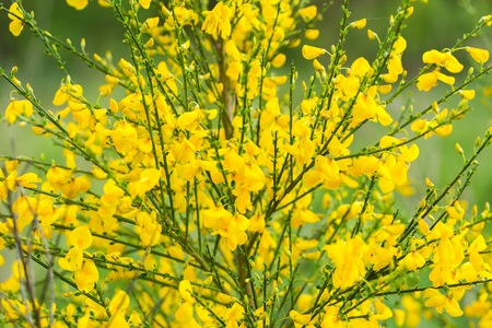 faboideae: Blooming broom in close up. Natural background with yellow flowers on bush