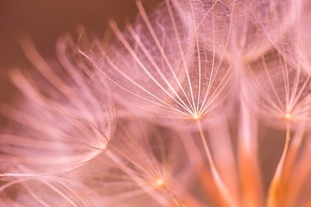 pappus: Dandelion seed in big close up. Close up of dandelion umbrella. Natural seed of flower.