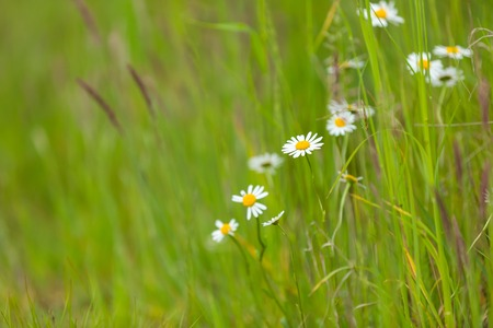predominantly: Wildflowers - predominantly chamomiles growing on wild meadow at summer time.