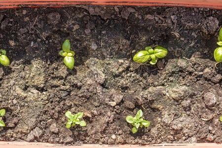 edible plant: Young basil growing in plastic pot. Growing of edible plant or herb