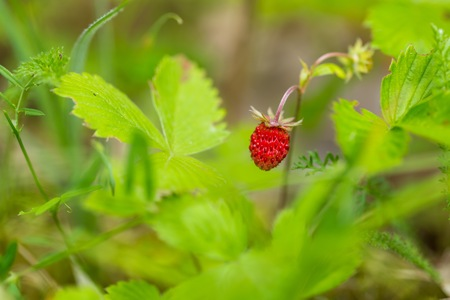 'wild strawberry: Wild strawberry growing in summer forest. Close up of wild fruit. Natural summer plant macro