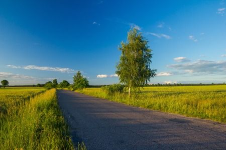 birch tree: Beautiful fields with asphalt road and birch tree under blue sky with clouds.