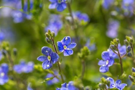 Vergeet me niet bloemen in de buurt. Natuur achtergrond met blauwe bloemen
