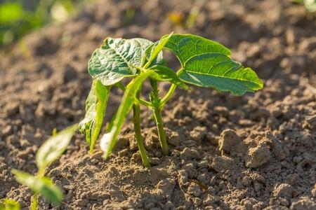 garden bean: Young bean growing in garden. Summer plants in garden