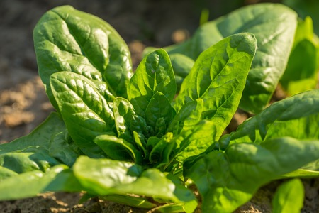 Spinach growing in garden. Fresh natural leaves of spinach growing in summer garden
