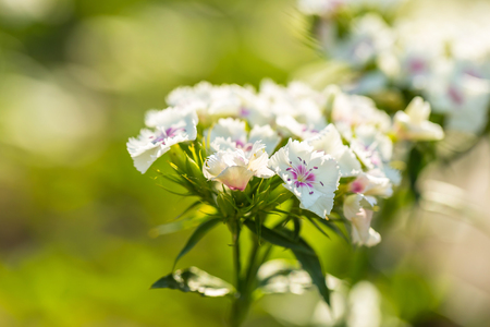 White gillyflower growing in garden. Natural flower background Stock Photo