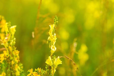 flowers sun: Beautiful wildflowers blooming in polish countryside. Wild european plants.