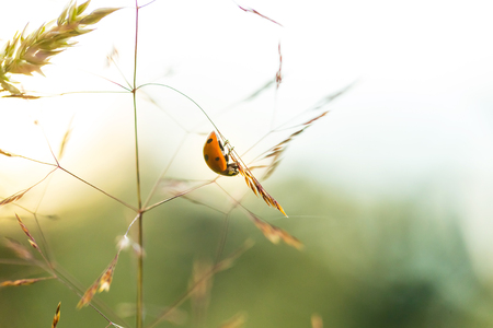 siting: Beautiful ladybug siting on grass at summer sunset. Insect macro .
