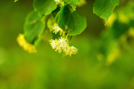 Lime tree blooming. Herbs flowers tree. Beautiful natural background.
