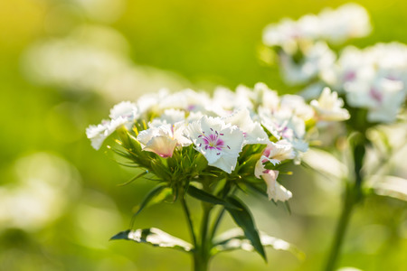 gillyflower: White gillyflower growing in garden. Natural flower background Stock Photo