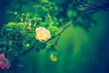 Vintage photo of blooming wild rose in forest. Natural background