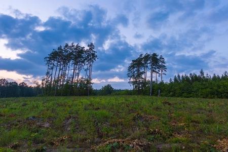 Forest landscape photographed at summer evening. Polish forest.