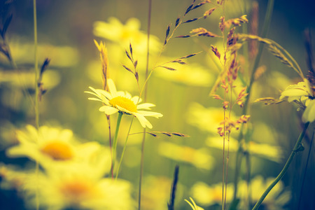 Vintage photo of chamomile flowers growing on wild meadow. Natural background Stock Photo