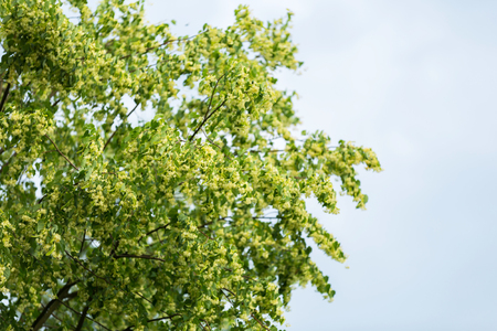 tilia: Blooming branches of lime tree (Tilia cordata) growing in Poland.