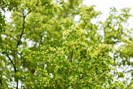 Blooming branches of lime tree (Tilia cordata) growing in Poland.