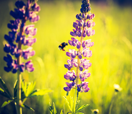 Vintage photo of lupine flowers blooming on wild meadow. Natural background