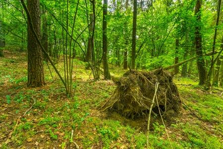 woodland scenery: Green european wild forest in summer. Debowa Gora nature reserve in Poland.