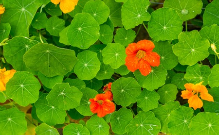 Beautiful nasturtium flowers growing and blooming in garden. Natural flowers background.
