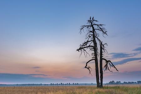 Paysage rural avec des cigognes assis sur un vieux arbre flétri. Campagne polonaise