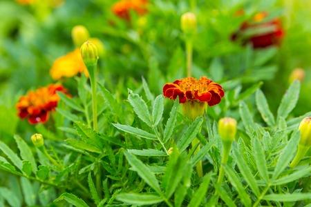 garden marigold: Marigold flowers growing and blooming in garden. Beautiful garden flowers.
