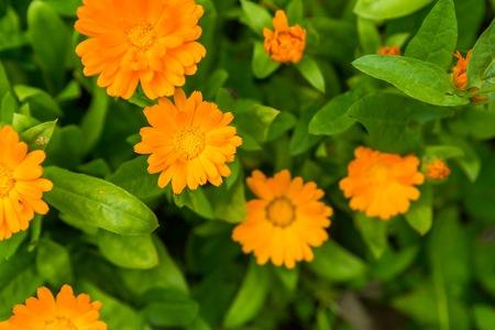 Beautiful marigold flowers (calendula). Natural flowers growing in garden.