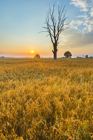 Polish countryside in summer. Cereal field with old tree, landscape photographed at morning