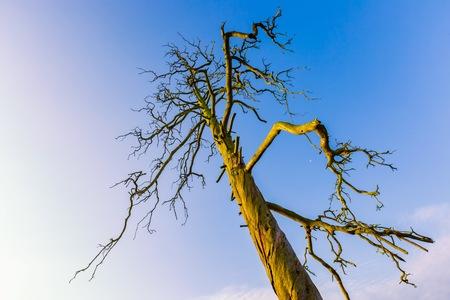 High  dead tree under blue sky in morning. Old chestnut tree.