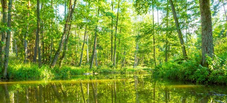 swampy: Wild river in forest, polish river Omulew at sunny summer day. Wild landscape.