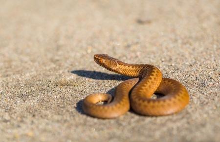 Adder (Vipera Berus) basking on sun on sandy road. Dangerous snake. Stock Photo