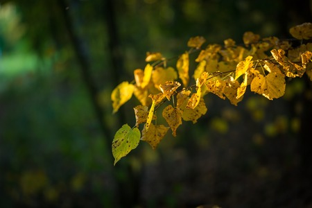 poetic: Yellow autumnal linden foliage, selective focus and shallow DoF. Close up of yellow leaves.