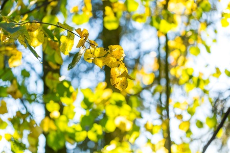 Yellow autumnal linden foliage, selective focus and shallow DoF. Close up of yellow leaves.