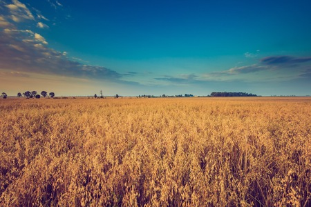 Vintage photo of early morning on rye field. Cereal fields in Poland, summer rural vibrant landscape.