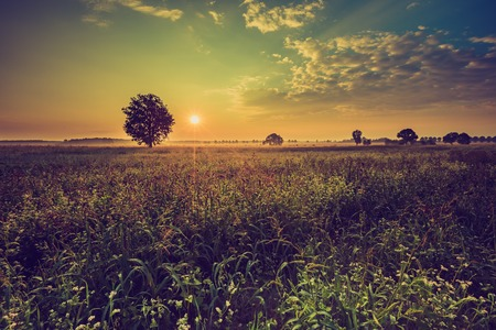 Vintage photo of summer sunrise over blooming buckwheat field with weeds. Foggy morning over field and tree.