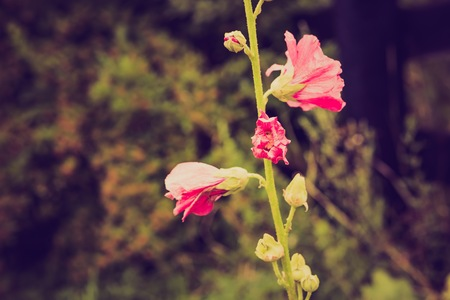 Vintage photo of mallow flowers in close up. Stock Photo