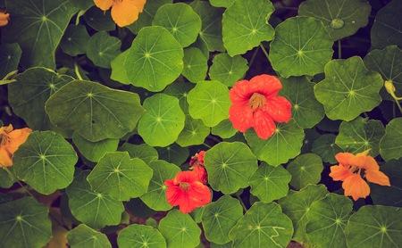 Vintage photo of beautiful nasturtium flowers growing and blooming in garden.
