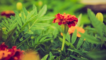 Vintage photo of marigold flowers growing and blooming in garden.