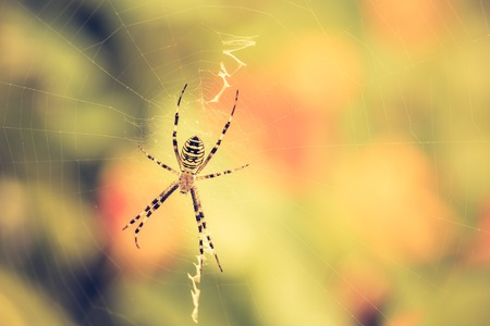 Vintage photo of tiger spider macro sitting on web. Insect close up.