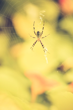 Vintage photo of tiger spider macro sitting on his web. Insect close up.