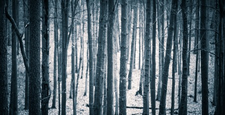 hag: Close up of spooky trees trunks in fall forest. Halloween forest background. Stock Photo