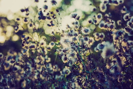 lomography: Dry thistle flowers with bokeh circles background and vintage colors effect. Stock Photo